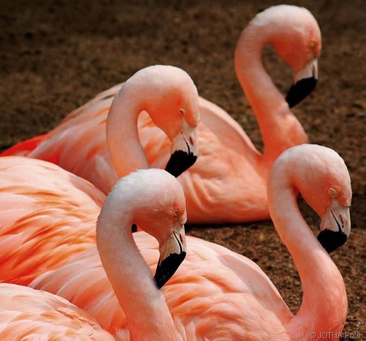 Vier Flamingos