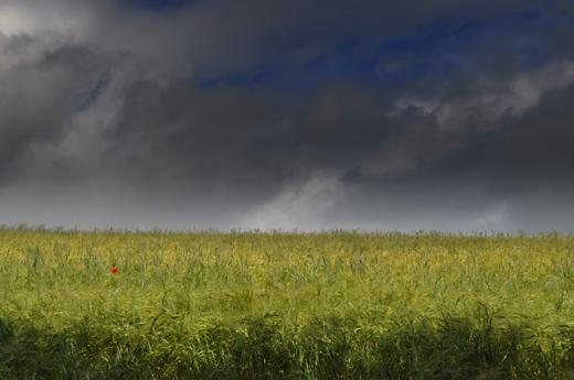 Getreidefeld unter Gewitterhimmel