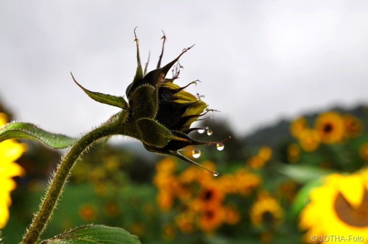 Sonnenblumen im Oktober