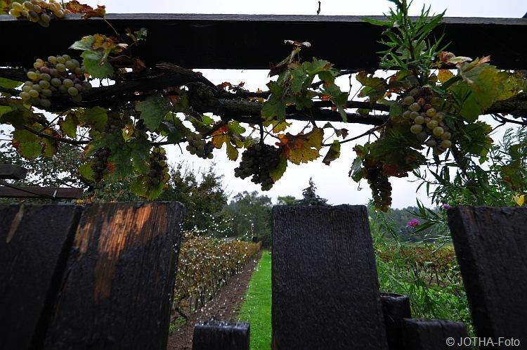 Wein über dem Gartentor