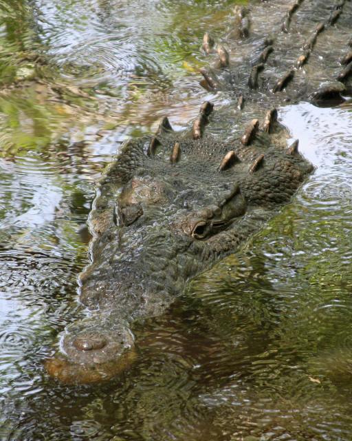 4_Naom Chomsky_1024px-Crocodylus_acutus_mexico_01