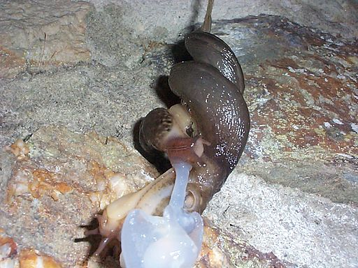 32_Snails_mating