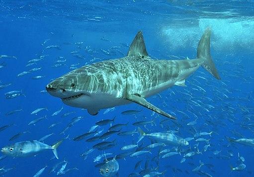 112 White_shark wikimedia