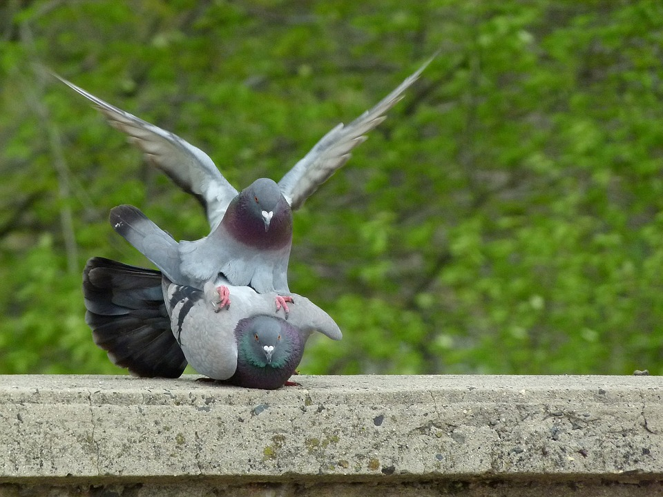 Taube pigeon-2533783_960_720