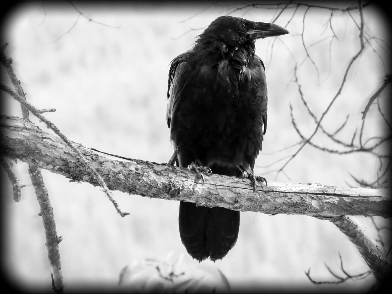 198 pixabay crow-1582138_1280