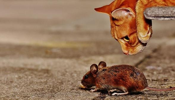231 Katze Maus