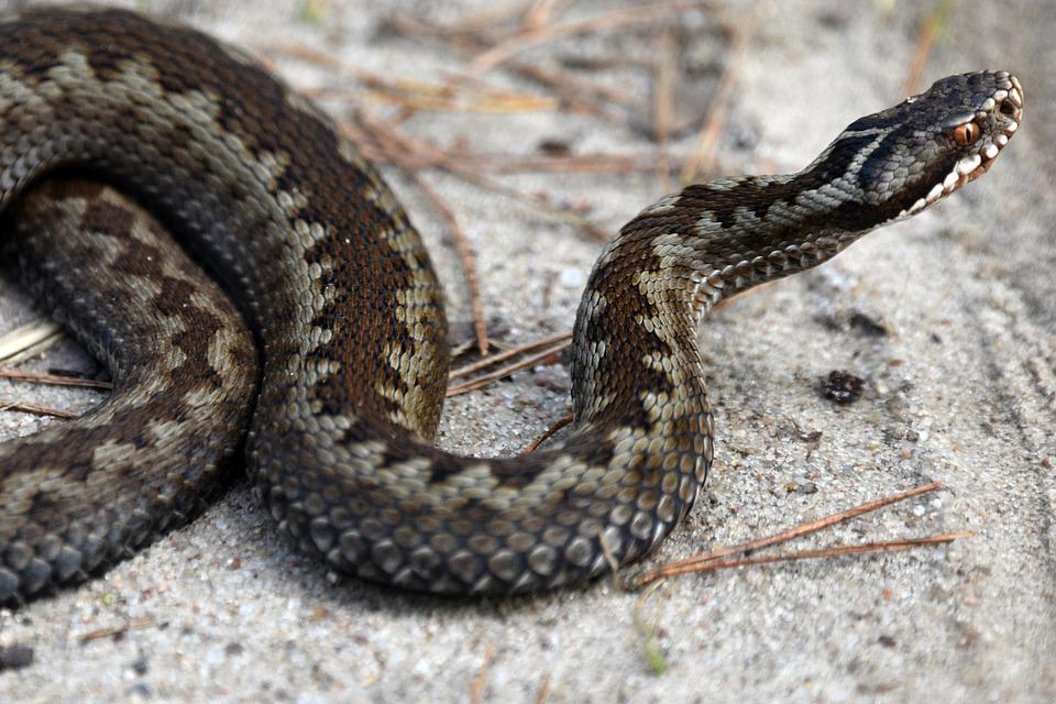 Viper snake-6281394_960_720 pixabay