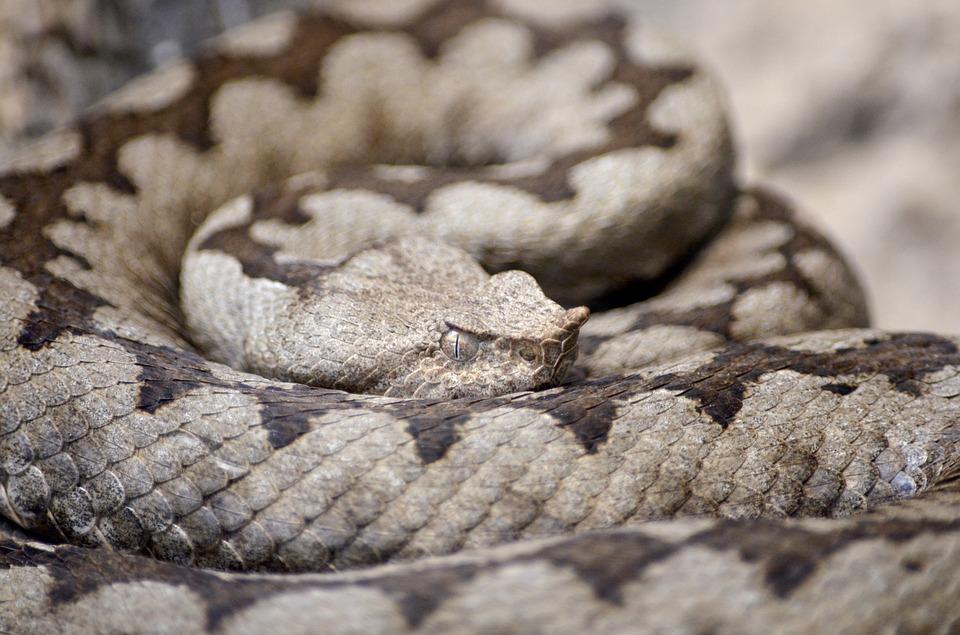 horned-viper-1329241_960_720 pixabay