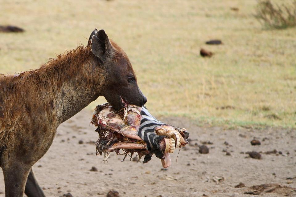 hyena-175086_960_720
