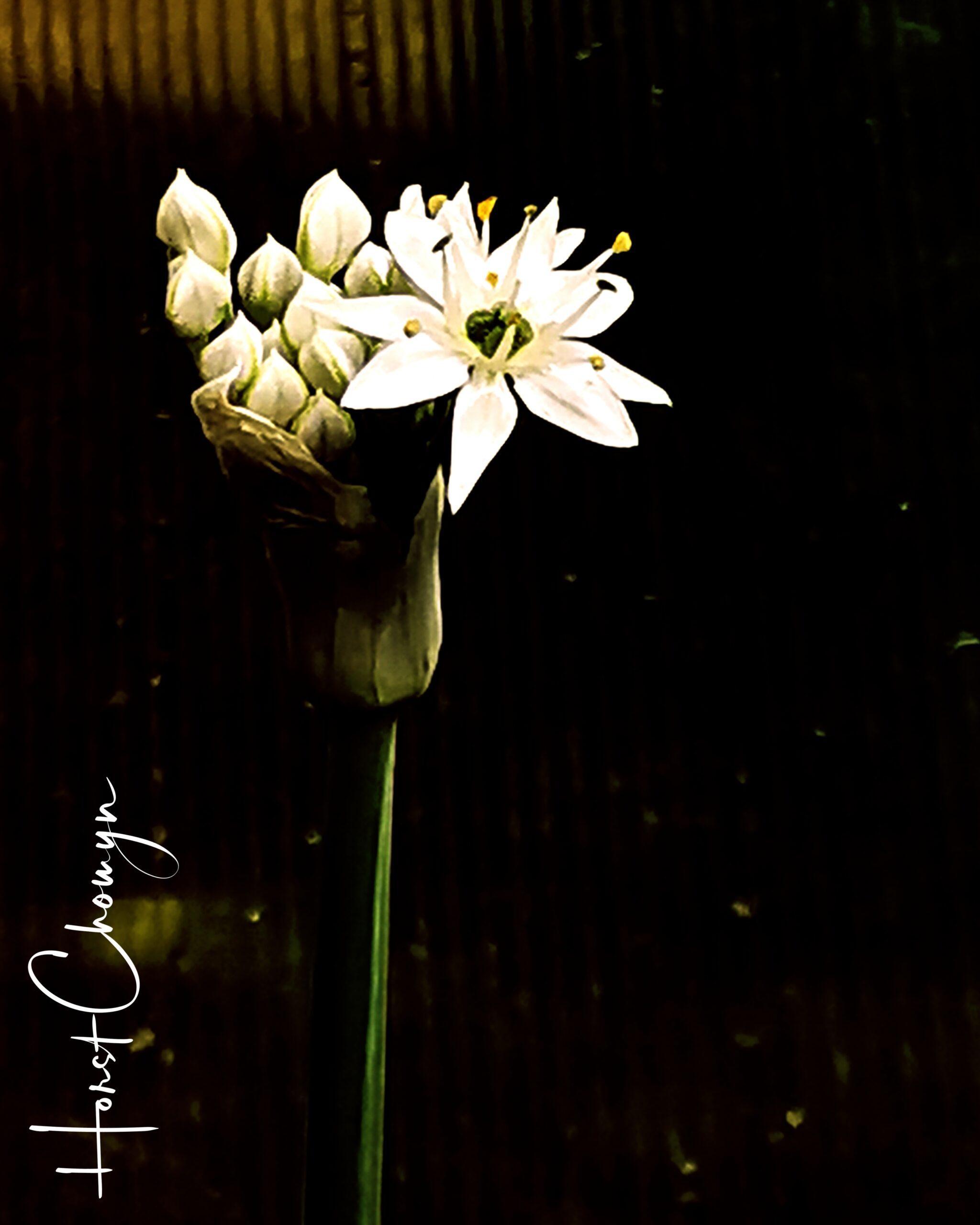 Orientalischer Knoblauch bei Nacht
