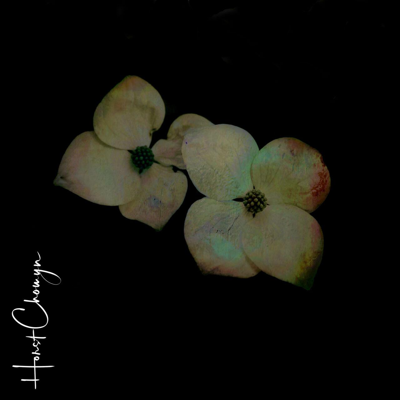 hartriegel 05_02