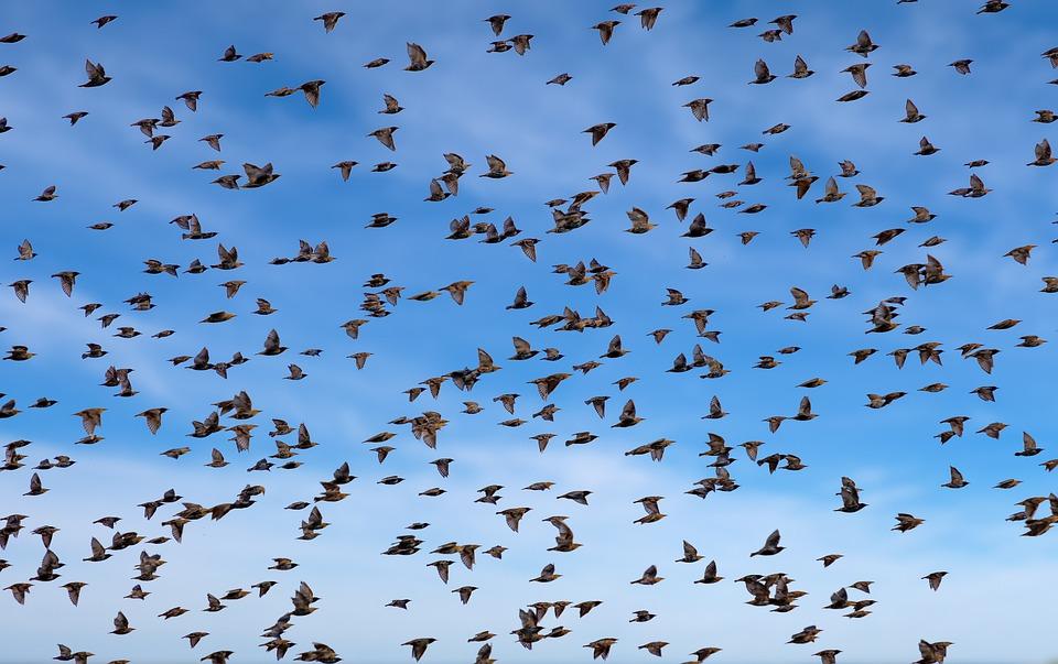 Vogelschwarm pixabay